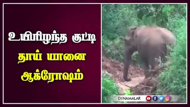 உயிரிழந்த குட்டி  தாய் யானை ஆக்ரோஷம்