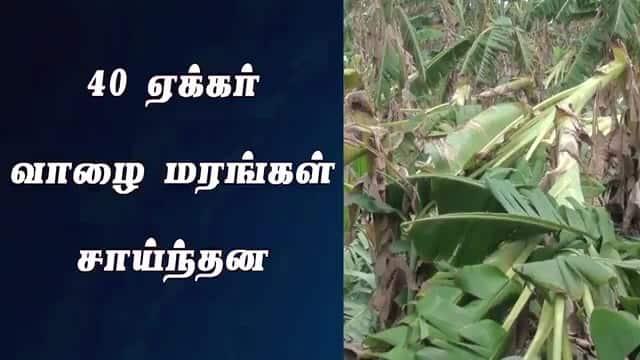 40 ஏக்கர் வாழை மரங்கள் சாய்ந்தன