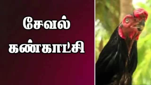 சேவல் கண்காட்சி
