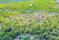 உளுந்து வயலில் கூடுதல்  உரமிட்டதால்... வேளாண் அலுவலர்கள்  வழிகாட்டுதல் இல்லாததால் பாதிப்பு